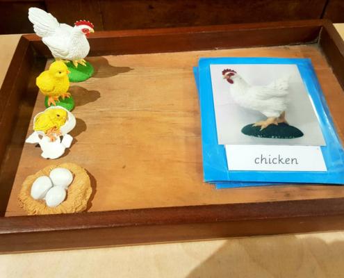 montessori chicken and egg facts